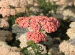 Schafgarbe 'Lachsschönheit', Achillea millefolium 'Lachsschönheit', Topfware