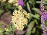 Schafgarbe 'Ovation' ®, Achillea millefolium 'Ovation' ®, Topfware