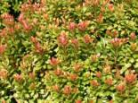 Schattenglöckchen 'Little Heath Green', 25-30 cm, Pieris japonica 'Little Heath Green', Containerware