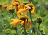 Scheinsonnenhut 'Now Cheesier', Echinacea purpurea 'Now Cheesier', Topfware