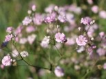 Rispiges Schleierkraut 'Festival Pink Lady', Gypsophila paniculata 'Festival Pink Lady', Topfware