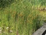 Schmalblättriger Rohrkolben, Typha angustifolia, Topfware