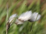 Schmalblättriges Wollgras, Eriophorum angustifolium, Topfware