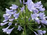 Schmucklilie 'Blue Giant', Agapanthus africanus 'Blue Giant', Topfware