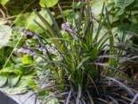 Schwarzblättriger Schlangenbart 'Niger', Ophiopogon planiscapus 'Niger', Topfware