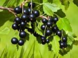 Schwarze Johannisbeere 'Andega', 30-40 cm, Ribes nigrum 'Andega', Containerware