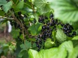 Schwarze Johannisbeere 'Rosenthals Langtraubige', 30-40 cm, Ribes nigrum 'Rosenthals Langtraubige', Containerware