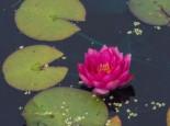 Seerose 'James Brydon', Nymphaea x cultorum 'James Brydon', Topfware