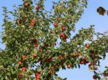 Sommerapfel 'Discovery', Stamm 40-60 cm, 120-160 cm, Malus 'Discovery', Wurzelware