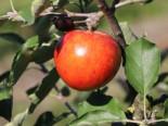 Sommerapfel 'Roter James Grieve' / 'Rubin', Stamm 40-60 cm, 120-160 cm, Malus 'Roter James Grieve' / 'Rubin', Wurzelware