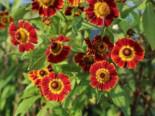 Sonnenbraut 'Königstiger', Helenium x cultorum 'Königstiger', Topfware