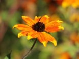 Sonnenhut 'Prairie Glow', Rudbeckia triloba 'Prairie Glow', Topfware