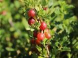 Stachelarme Stachelbeere 'Larell', 30-40 cm, Ribes uva-crispa 'Larell', Containerware
