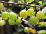 Stachelbeere 'Karlin' (Grün), 30-40 cm, Ribes uva-crispa 'Karlin' (Grün), Containerware