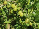 Stachelbeere 'Mucurines', 30-40 cm, Ribes uva-crispa 'Mucurines' (Hellgrün), Containerware