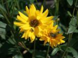 Stauden Sonnenblume, Helianthus atrorubens, Topfware