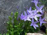 Sternförmige Glockenblumen 'Erinus Major', Campanula garganica 'Erinus Major', Topfware