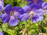 Himalaya-Storchschnabel 'Baby Blue', Geranium himalayense 'Baby Blue', Topfware