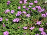 Storchschnabel 'Bloom Time', Geranium wallichianum 'Bloom Time', Topfware