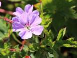 Storchschnabel 'Buxton's Blue', Geranium wallichianum 'Buxton's Blue', Topfware