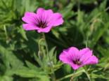 Storchschnabel 'Patricia', Geranium psilostemon 'Patricia', Topfware