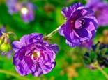 Storchschnabel 'Plenum Violaceum', Geranium pratense 'Plenum Violaceum', Topfware