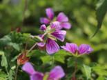 Storchschnabel 'Sweet Heidy', Geranium wallichianum 'Sweet Heidy', Topfware
