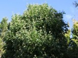 Strauch-Efeu 'Arborescens', 60-80 cm, Hedera helix 'Arborescens', Containerware