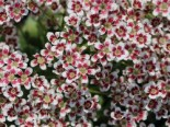 Strauch Steinbrech 'Southside Seedling', Saxifraga cotyledon 'Southside Seedling', Topfware