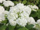 Strauch-Hortensie / Schneeball-Hortensie 'Grandiflora', 40-60 cm, Hydrangea arborescens 'Grandiflora', Containerware