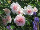 Strauchrose 'Alexandra ® - Princesse de Luxembourg', Rosa 'Alexandra ® - Princesse de Luxembourg', Wurzelware