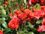 Strauchrose 'Feuerwerk' ®, Rosa 'Feuerwerk' ®, Wurzelware