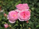 Strauchrose 'Flashlight' ®, Rosa 'Flashlight' ® ADR-Rose, Containerware
