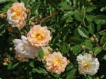 Strauchrose 'Ghislaine de Feligonde', Rosa 'Ghislaine de Feligonde', Wurzelware