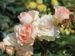 Strauchrose 'Matthias Claudius Rose', Rosa 'Matthias Claudius Rose' ADR-Rose, Wurzelware