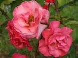 Strauchrose 'Rosenresli' ®, Rosa 'Rosenresli' ®, Wurzelware