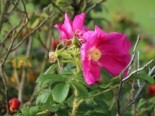 Strauchrose 'Rotes Meer', Rosa rugosa 'Rotes Meer', Containerware