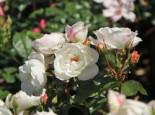 Strauchrose 'Weiße Wolke' ®, Rosa 'Weiße Wolke' ®, Wurzelware