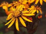 Strauß-Goldkolben 'Othello', Ligularia dentata 'Othello', Topfware