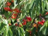 Süßkirsche 'Büttners Rote Knorpelkirsche', Stamm 40-60 cm, 120-160 cm, Prunus 'Büttners Rote Knorpelkirsche', Wurzelware