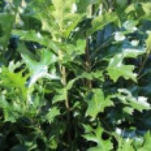 Sumpf-Eiche 'Green Pillar' ®, 60-100 cm, Quercus palustris 'Green Pillar' ®, Containerware
