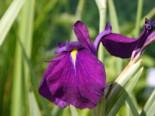 Sumpf-Schwertlilie 'Variegata', Iris ensata 'Variegata', Topfware