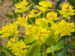 Sumpf-Wolfsmilch, Euphorbia palustris, Topfware