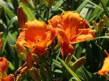 Taglilie 'Mauna Loa', Hemerocallis x cultorum 'Mauna Loa', Topfware