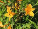 Taglilie 'Thumbelina', Hemerocallis x cultorum 'Thumbelina', Topfware