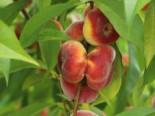 Tellerpfirsich 'Sugar Baby', 80-100 cm, Prunus persica 'Sugar Baby', Containerware