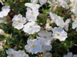 Teppich-Flammenblume 'White Delight', Phlox subulata 'White Delight', Topfware