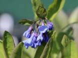 Virginisches Blauglöckchen, Mertensia virginica, Topfware