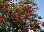 Vogelbeere / Eberesche, 50-80 cm, Sorbus aucuparia, Weichwandcontainer