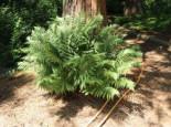 Weicher Schildfarn, Polystichum setiferum, Topfware